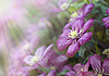 Violet flowers in sun light | Stock Foto