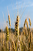 Pest of cereal crops | Stock Foto