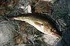 Photo 300 DPI: Baltic cod