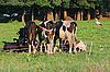 Photo 300 DPI: Cows