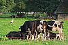 Foto 300 DPI: Kühe