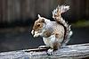 Graues Eichhörnchen | Stock Foto