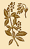 Vector clipart: barberry