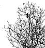 Vector clipart:  silhouette ravens on tree
