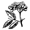 Vector clipart: silhouette of rowanberry