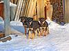 Photo 300 DPI: three puppies on cool snow