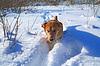 ID 3245279 | Rudy pies w głębokim śniegu | Foto stockowe wysokiej rozdzielczości | KLIPARTO