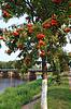 ID 3249108 | Jarzębina w parku na wybrzeżu rzeki | Foto stockowe wysokiej rozdzielczości | KLIPARTO