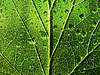 Dripped water on birch leaf | Stock Foto