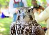 Photo 300 DPI: falcon