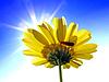 Photo 300 DPI: flower chrysanthemum on turn blue background