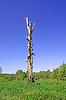 Photo 300 DPI: old ugly birch
