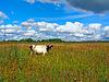 Photo 300 DPI: cow on field