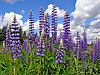 ID 3263638 | Flowerses lupines on field | High resolution stock photo | CLIPARTO