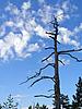 Photo 300 DPI: dry tree on background blue sky