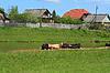 在村庄附近沿海河牛群皮质   免版税照片