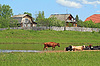 牛群皮质河沿岸   免版税照片