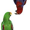 Фото 300 DPI: красивые красный и зеленый попугаи ара