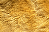 Photo 300 DPI: Close-up of ginger cat fur for texture or background