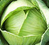 Photo 300 DPI: Green cabbage with leaves and early dew
