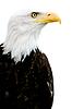 Bielik amerykański   Stock Foto