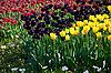 Фото 300 DPI: Желтые и бордовые тюльпаны