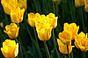 Żółte tulipany | Stock Foto