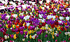 Wielokolorowe tulipanów | Stock Foto