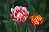 Two tulips | Stock Foto