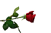 Red rose | Stock Foto