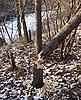 树和海狸 | 免版税照片