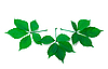 Three green virginia creeper leaves | Stock Foto