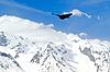 Alpine Chough (Pyrrhocorax graculus) | Stock Foto