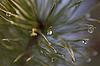 ID 3153108 | Gota de agua en agujas de pino | Foto de alta resolución | CLIPARTO