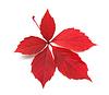 Foto 300 DPI: Red Herbst Blätter wildem Wein