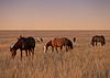 马放牧在晚上牧场的牛群   免版税照片