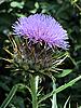 Фото 300 DPI: фиолетовый цветок чертополоха