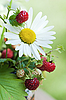 Camomiles and wild strawberry | Stock Foto