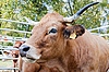Krowa | Stock Foto
