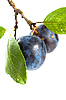 Branch with two ripe plums | Stock Foto