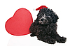 Chrisrmas puppy of poodle with heart | Stock Foto