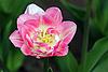 ID 3140532 | Pink tulip | High resolution stock photo | CLIPARTO