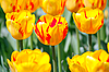 Yellow tulips | Stock Foto