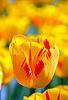 Yellow tulip | Stock Foto