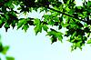 Green maple leaves   Stock Foto