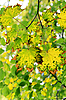Yellow maple leaves   Stock Foto