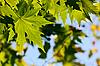 Autumn, maple leaves   Stock Foto