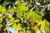 Herbst, Ahornblätter | Stock Photo