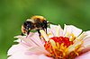 Bee on flower | Stock Foto