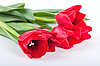 ID 3150568 | Tulips | High resolution stock photo | CLIPARTO